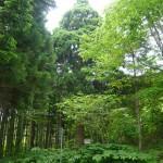 「大船の杉」(小)